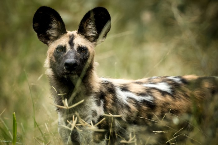 Singita Pamushana (Wildlife - Wild Dog)-2_copy_1232x819