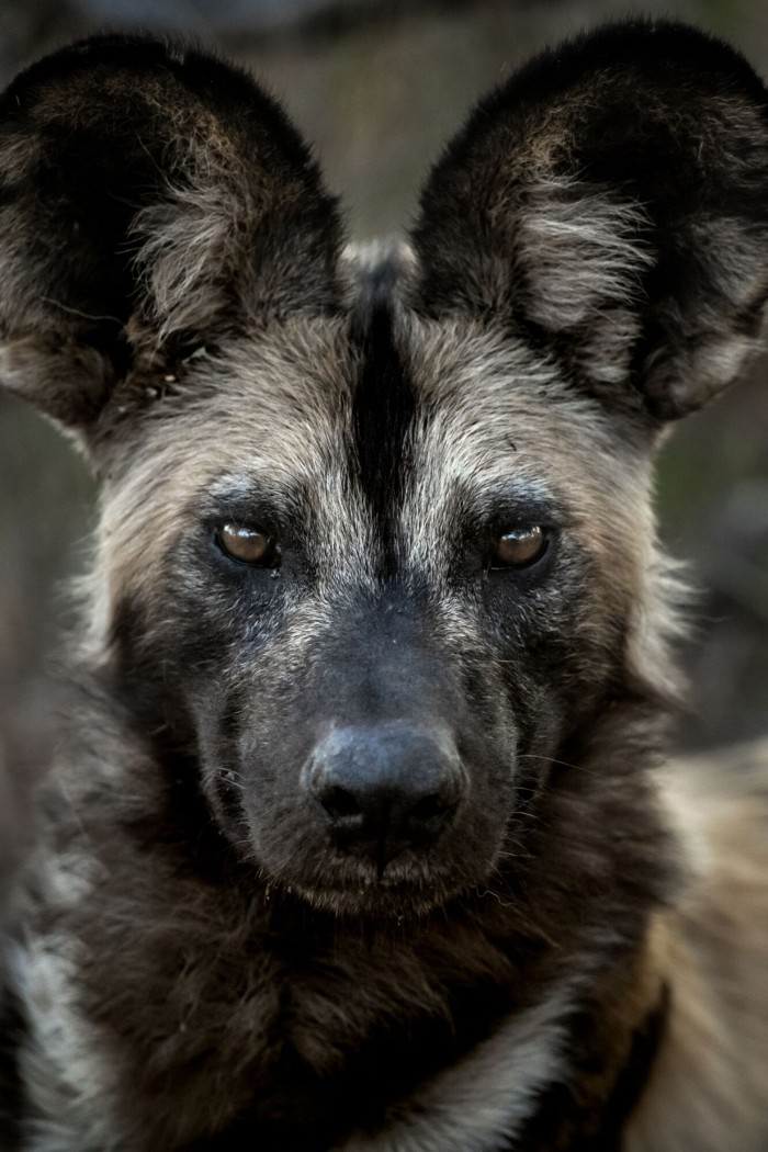Wild Dog_Singita_copy_1232x1848