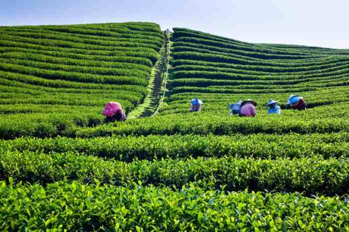 Tea-plantation-in-Taiwan